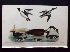 Alexander Wilson 1877 Bird Print. Black Or Surf Duck, Canada Goose, Golden Eye